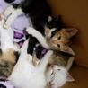 保健所保護猫  ハチワレちゃん1ヶ月子猫里親募集 サムネイル6