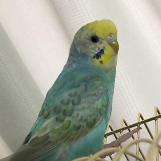 セキセイインコ若鳥里親様決定しました