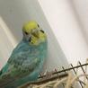セキセイインコ若鳥里親様決定しました サムネイル2