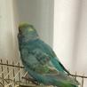 セキセイインコ若鳥里親様決定しました サムネイル3