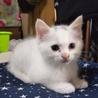生後2ヶ月!!オッドアイの白い子猫