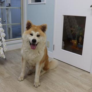 秋田犬女の子1歳