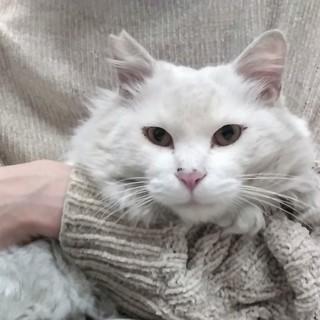 まるでライオン☆ゴージャス白長毛アルテミス2歳
