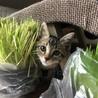 保健所保護猫 2ヶ月半子猫里親募集 サムネイル3