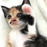 人慣れOK!生後2ヶ月半の三毛子猫、のぞみちゃん