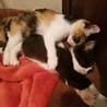 保健所保護猫 1ヶ月 二匹姉妹子猫里親募集 サムネイル7