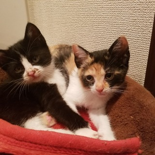 保健所保護猫  ハチワレちゃん1ヶ月子猫里親募集