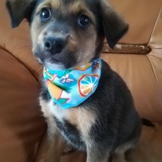 垂れ耳ビーグル風の仔犬ちゃん