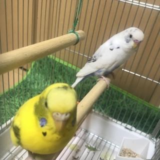 闘病中の幼馴染の愛鳥の里親さんになってください