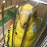 闘病中の幼馴染の愛鳥の里親さんになってください サムネイル2