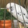 闘病中の幼馴染の愛鳥の里親さんになってください サムネイル3