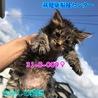 可愛いキジトラ子猫ちゃん 4匹兄妹で収容 009♀