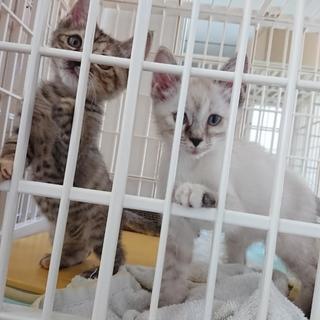 人なつこい姉妹猫シャム系&キジ 2ヶ月