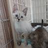 人なつこい姉妹猫シャム系&キジ 2ヶ月 サムネイル2