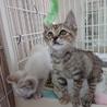 人なつこい姉妹猫シャム系&キジ 2ヶ月 サムネイル3