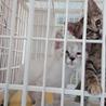 人なつこい姉妹猫シャム系&キジ 2ヶ月 サムネイル4