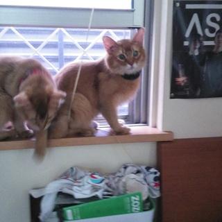 ソマリ 子猫 7か月 オス(一匹)メス(一匹)