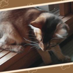 猫じゃらしでひとり遊びをするうちのソマリです