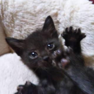 ぬいぐるみみたいな黒仔猫