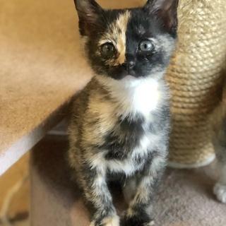ピカピカのサビ猫…月子は2ヶ月