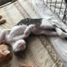 人も猫も好きなサバ白メスです サムネイル2