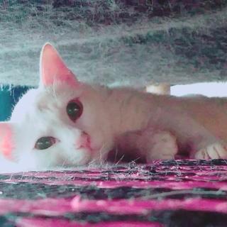 美猫パールくんがあなたを待っています♪