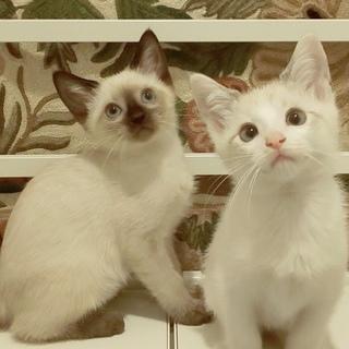 甘えん坊な白い妖精たち+シャム、2匹ずつペアで