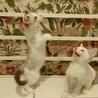 甘えん坊な白い妖精たち+シャム、2匹ずつペアで サムネイル2