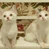 甘えん坊な白い妖精たち+シャム、2匹ずつペアで サムネイル3