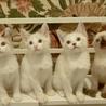 甘えん坊な白い妖精たち+シャム、2匹ずつペアで サムネイル5