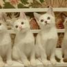 甘えん坊な白い妖精たち+シャム、2匹ずつペアで サムネイル6