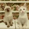 甘えん坊な白い妖精たち+シャム、2匹ずつペアで サムネイル7