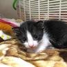 生後1.5ヶ月白黒八割れ子猫オス☆ジャスパー
