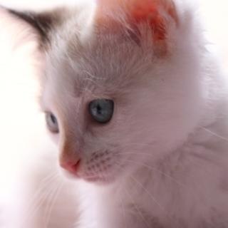 蓮♡ブルーの瞳がクール・ラグドールMIXの女の子