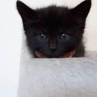 1ヶ月半位  とっても可愛い黒猫あんちゃん!