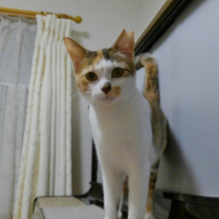 美人な三毛猫、かぶきちゃん