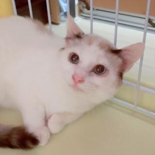 【6/16お台場】甘えん坊になりましたシャム風美猫