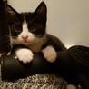 保健所保護猫 ハチワレ1ヶ月半子猫里親募集