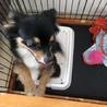 チワワ×パピヨン MIX 1歳1ヶ月 女の子 サムネイル3
