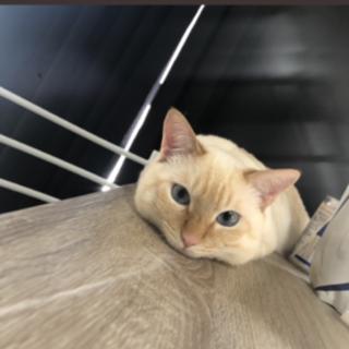11ヶ月 シャム猫混合 男の子