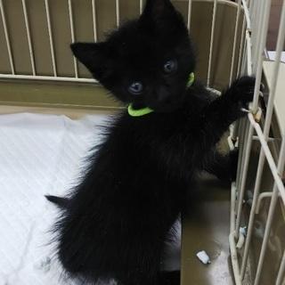 ☆保健所レスキュー 可愛い黒猫 ルークくん☆