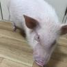 ミニブタ (1歳5ヶ月 30kgくらい)