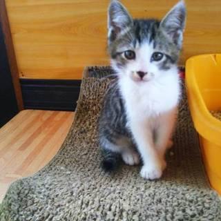 可愛い子猫の里親さんを探しています~きじしろ君~