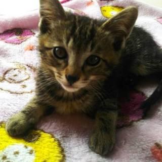 可愛い子猫の里親さんを探しています~きじちゃん~