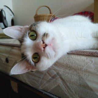 人が好きなキジシロ猫くん