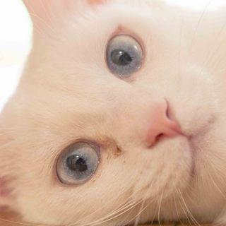 青い瞳の美しい白猫コロン君