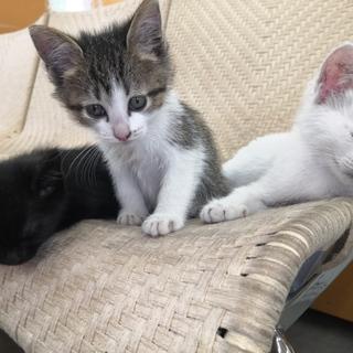 ♀ 子猫 キジ白 白 黒