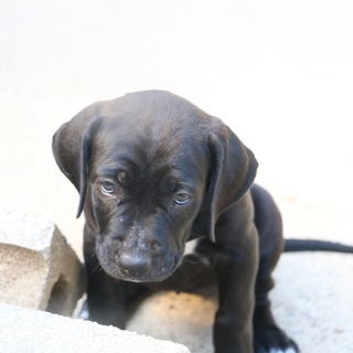 土佐犬ブラック メス 約4ヶ月半