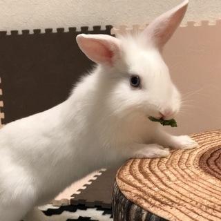 ブルーアイドホワイト ミニウサギ 2歳
