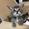 子猫二匹の里親になって下さる方を募集しています
